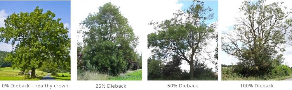 Ash Dieback